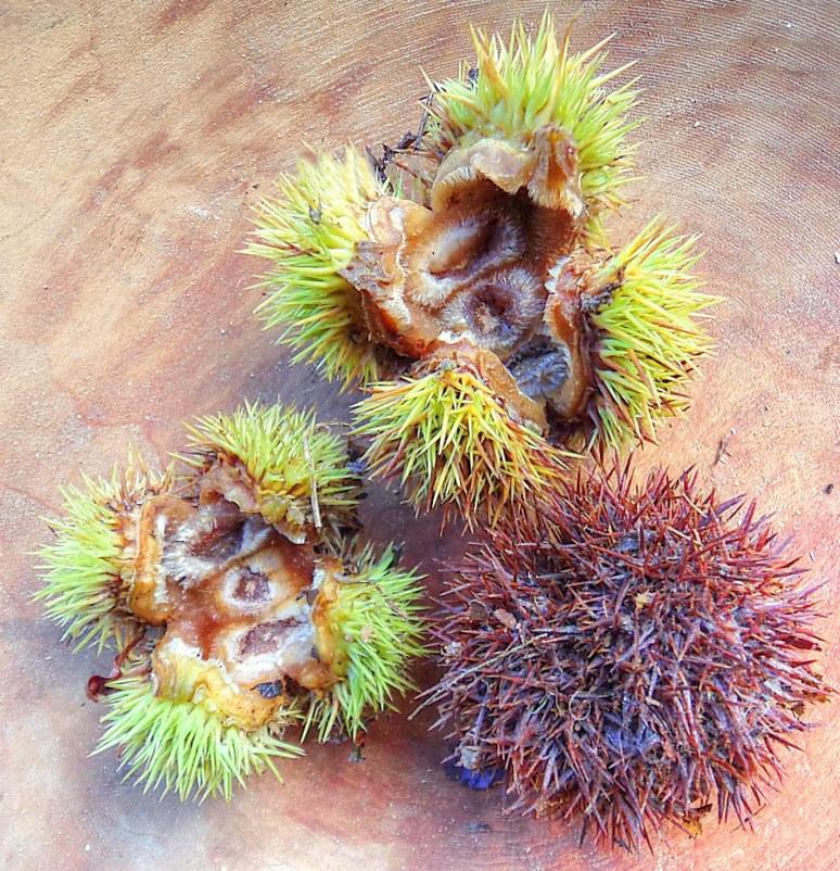 American Chestnut Pods