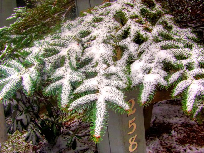 Sugar Mountain Spruce