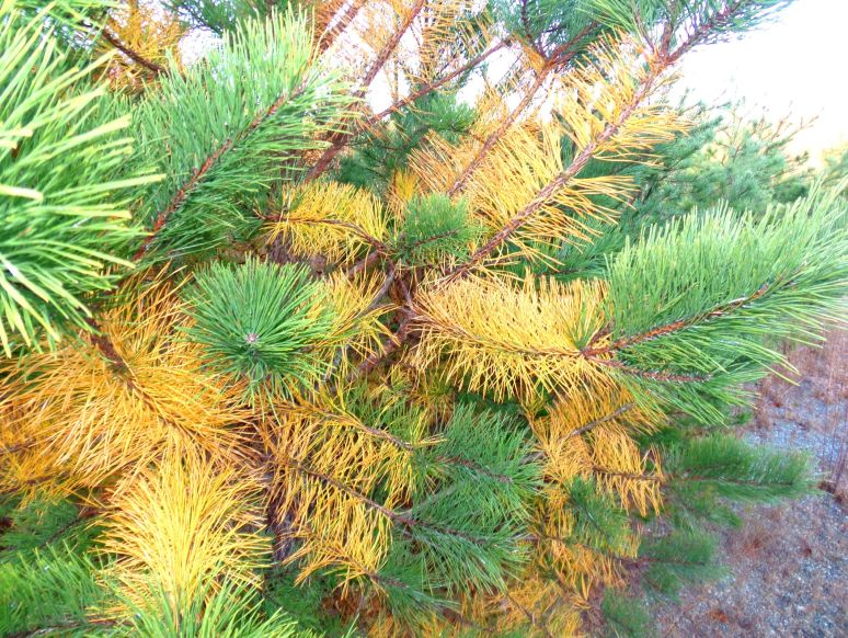 Pitch Pine Golden Needles