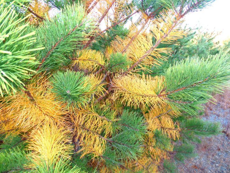 Pitch Pine Golden Needles