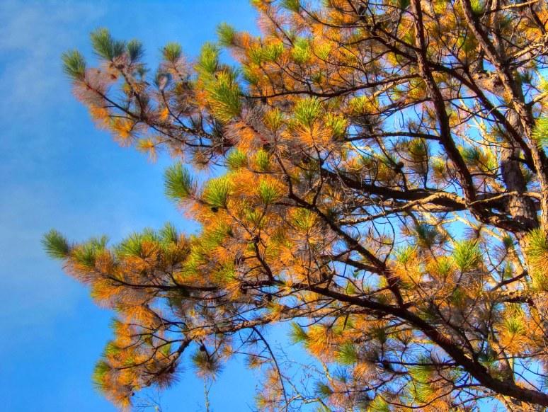 Pitch Pine Detail