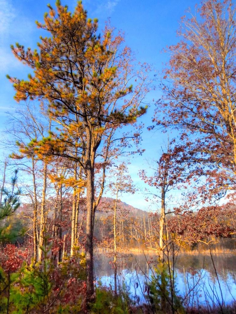 Pitch Pine Mature
