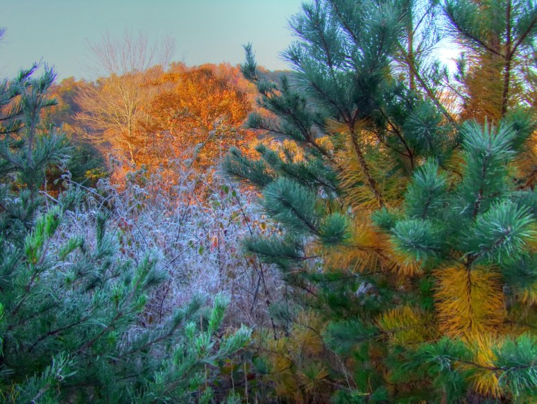 Pitch Pine with Frost