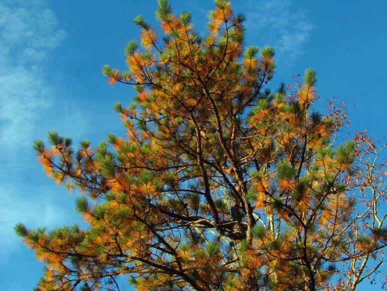 Pitch Pine Crown