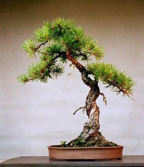 Pitch Pine Bonsai