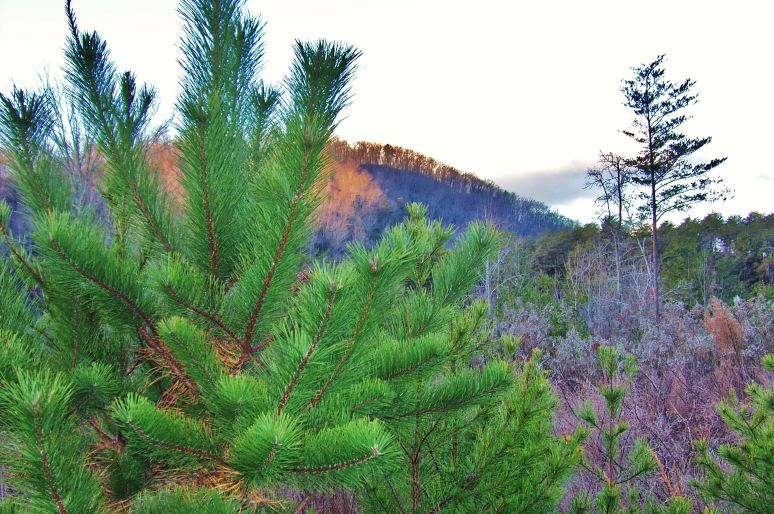 Pitch Pine in Fall