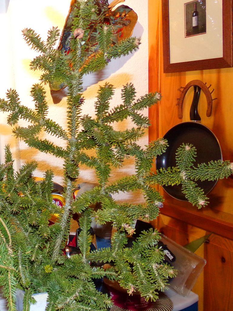 Balsam Spruce Bough