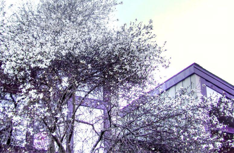 Lake Lure Magnolias