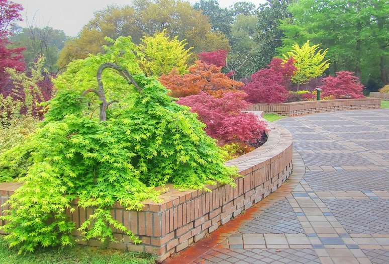 Brookgreen Japanese Maple
