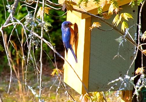 Blue Bird Feeding Young