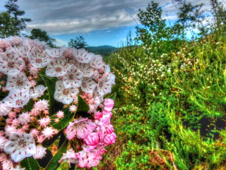 Mountain Laurel Blackberry