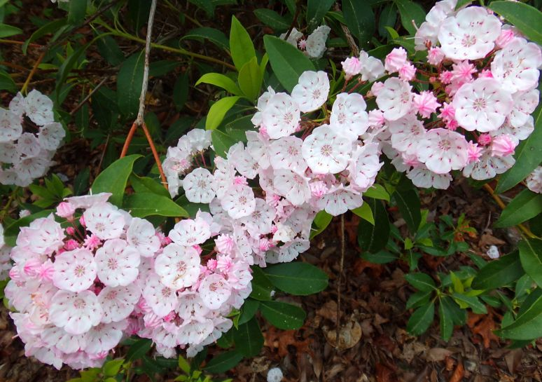 Mountain Laurel Bough