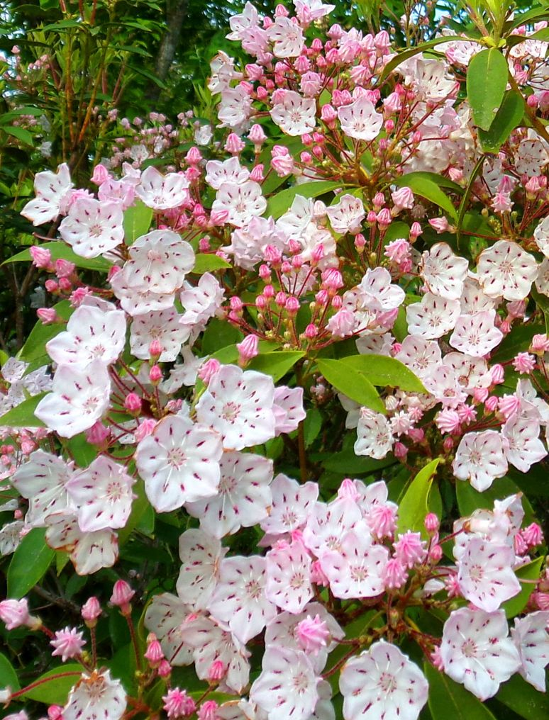 Mountain Laurel Bouquet