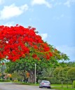 Royal Poinciana in Miami