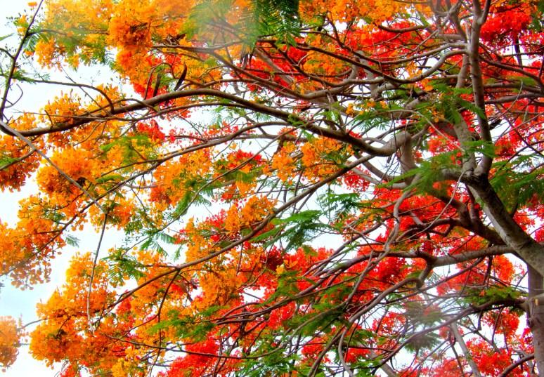 Royal Poinciana Canopy