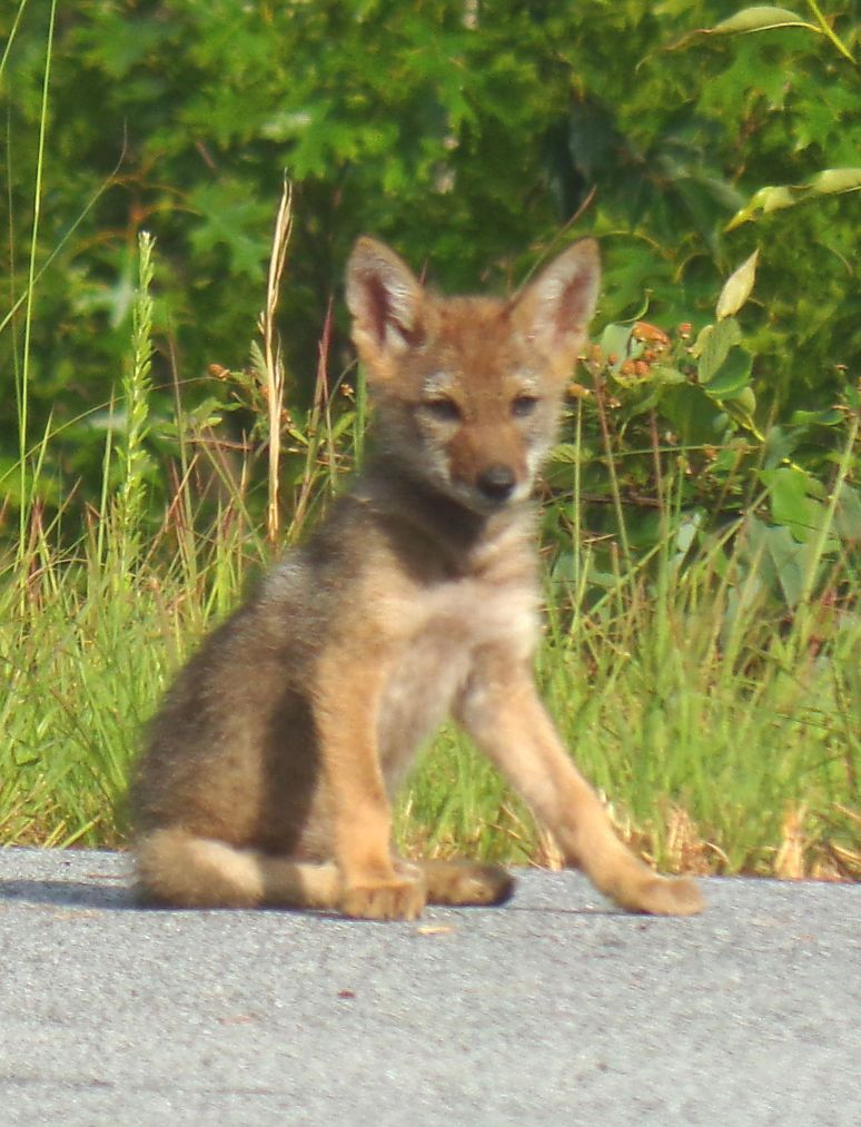 Coyote Pup on Fibber Magee Drive
