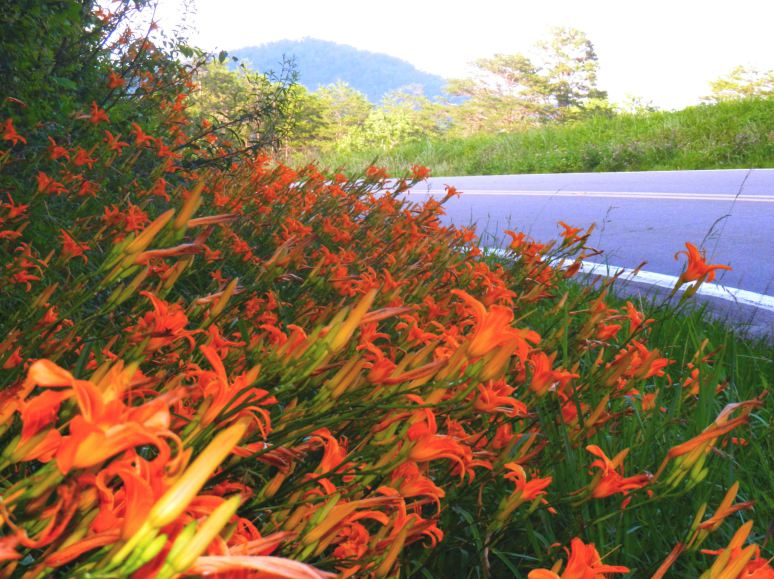 Tiger Lily Profusion