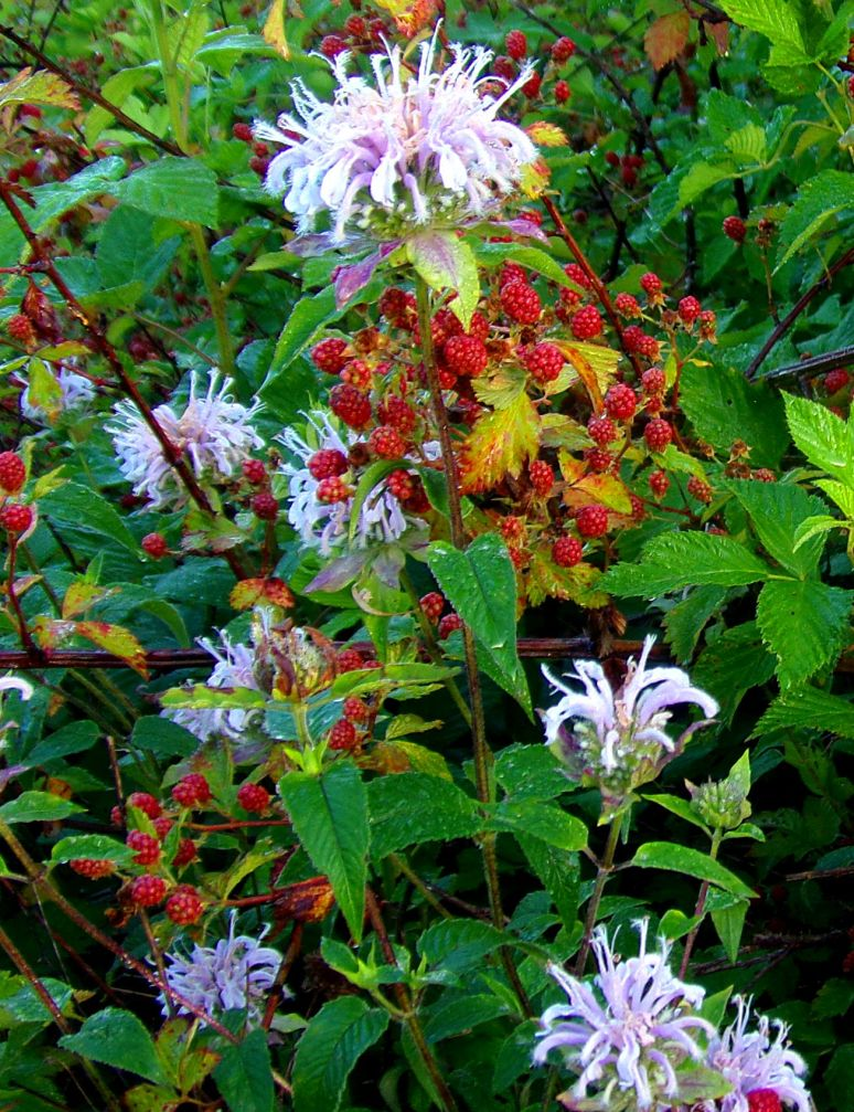 Lavender Bee Balm mixes with ripening Blackberries