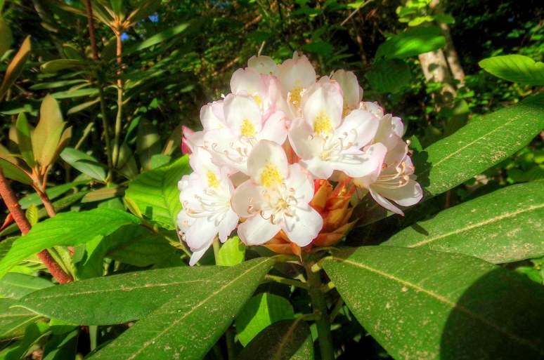 Showy Carolina Rhododendron blooms along the roads and Otter Creek