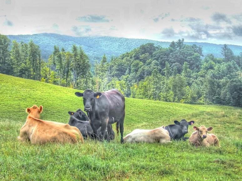 Linville Falls Cows
