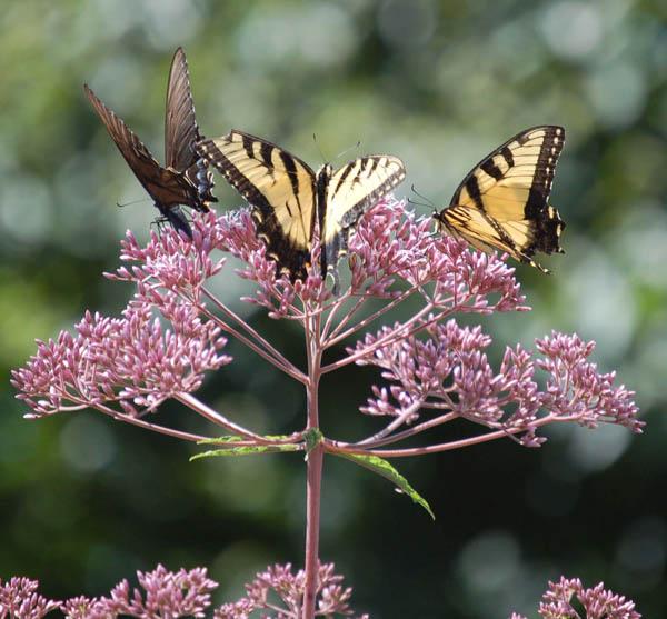 Joe Pye Weed Swallowtails