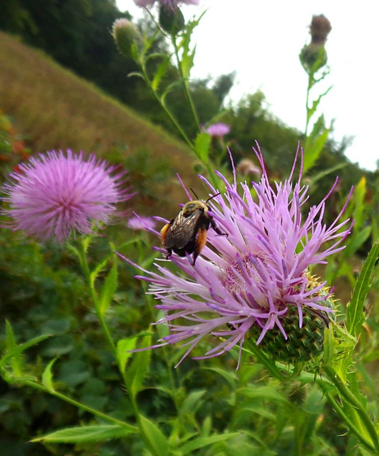 Milkweed is blooming everywhere. These thistle plants are thorny and uninviting until the pink appears.