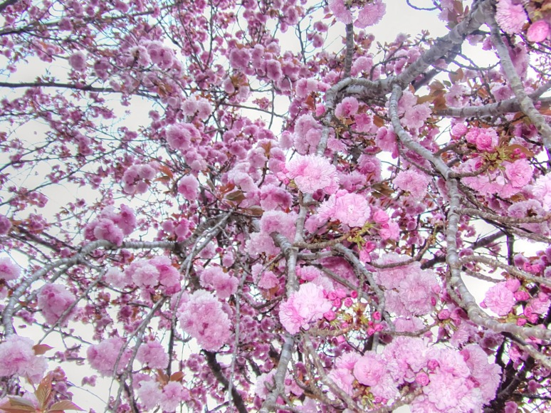 Kwansan Cherry Explosion