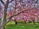 Kwansan Cherry Orchard 1
