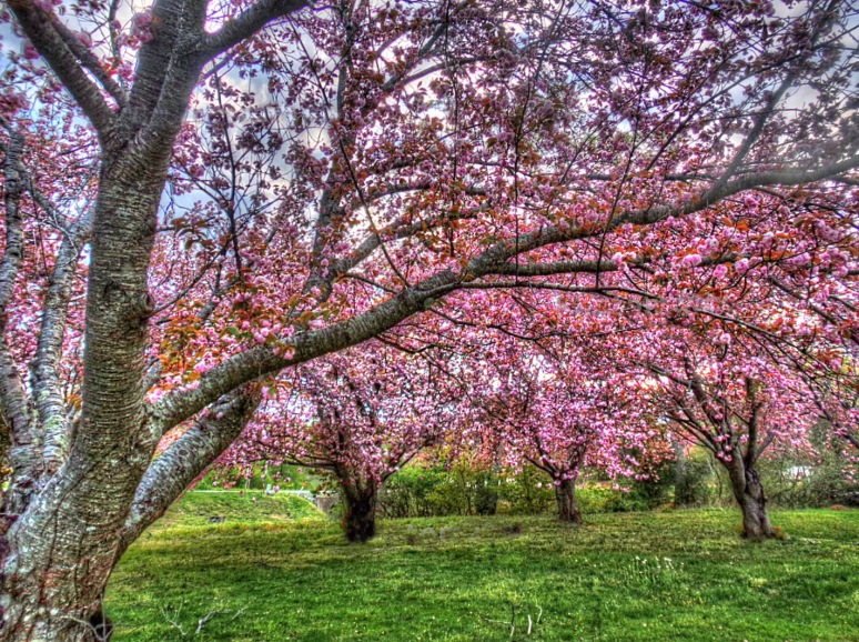 Kwansan Cherry Orchard 1