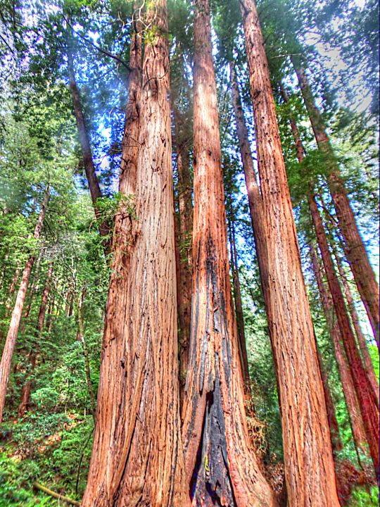 Redwood Family