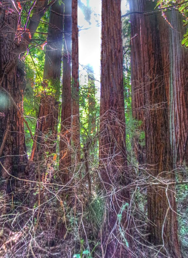 Tall Redwoods