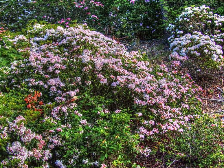 Pink Laurel