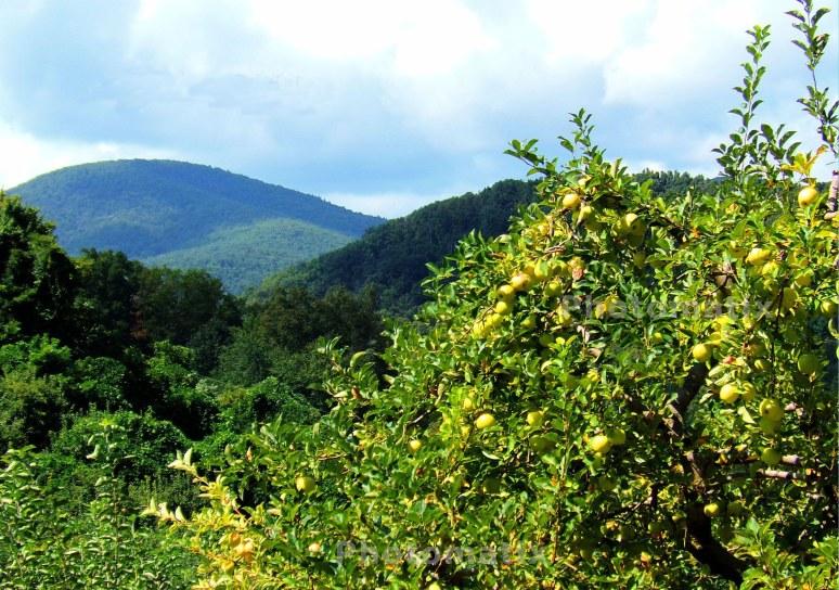 yellow-apples