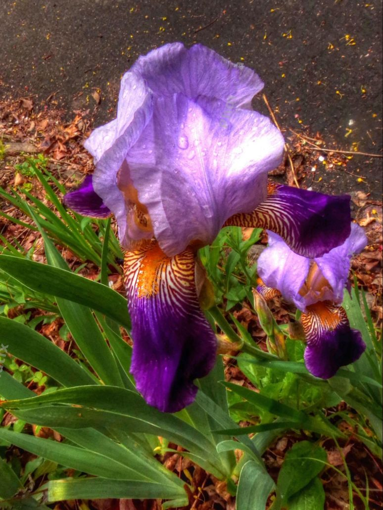 Sunset Mountain Asheville Iris 2