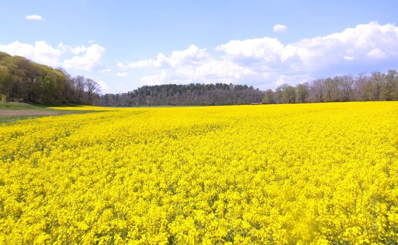 Biltmore Canola Fields