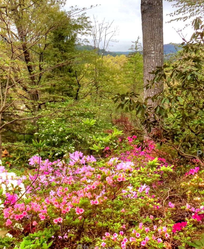 Sunset Mountain Asheville Azaleas