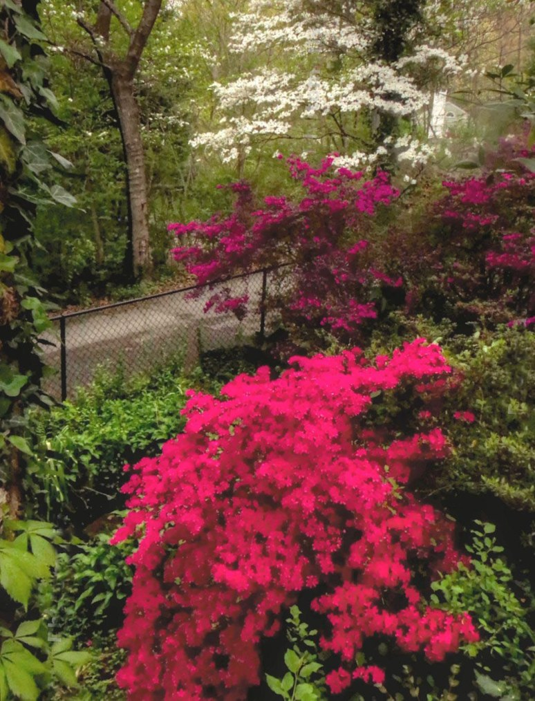 sunset mountain asheville azaleas 5