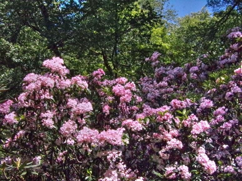 Pink mountain laurel at biltmore estate