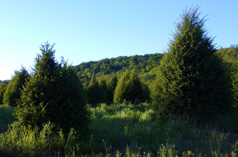 Hemlock Christmas trees