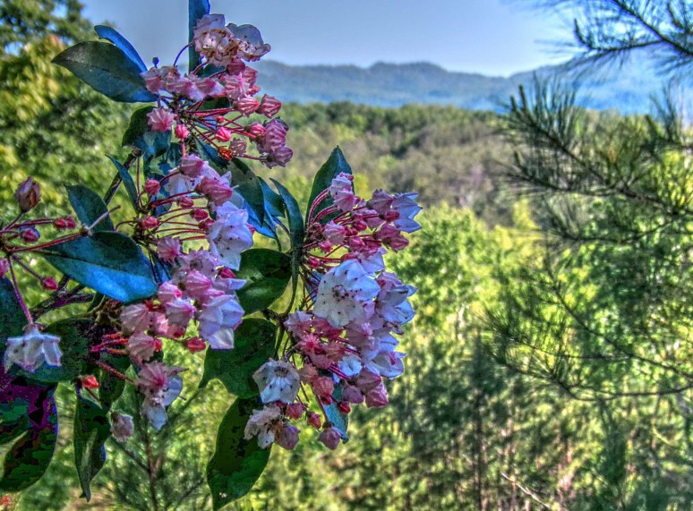Mountain Laurel Pink