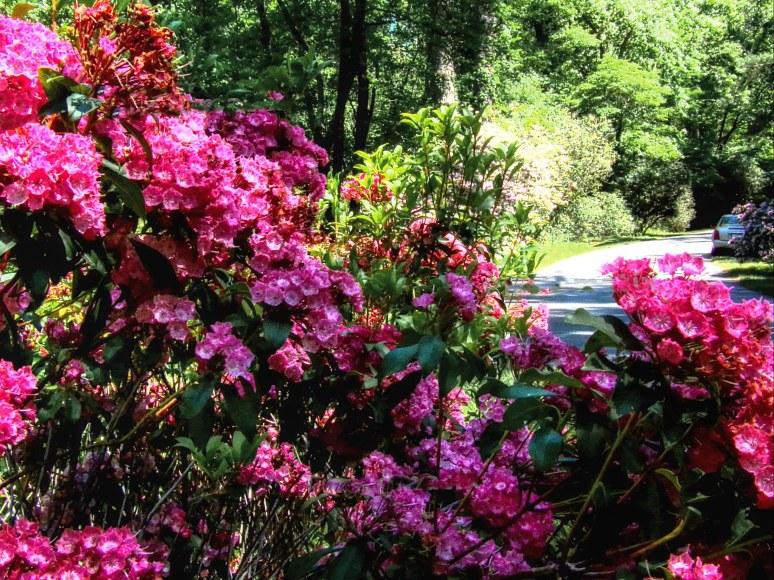 Magenta Mountain Laurel at Biltmore