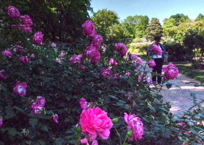 biltmore gardens fuchsia roses