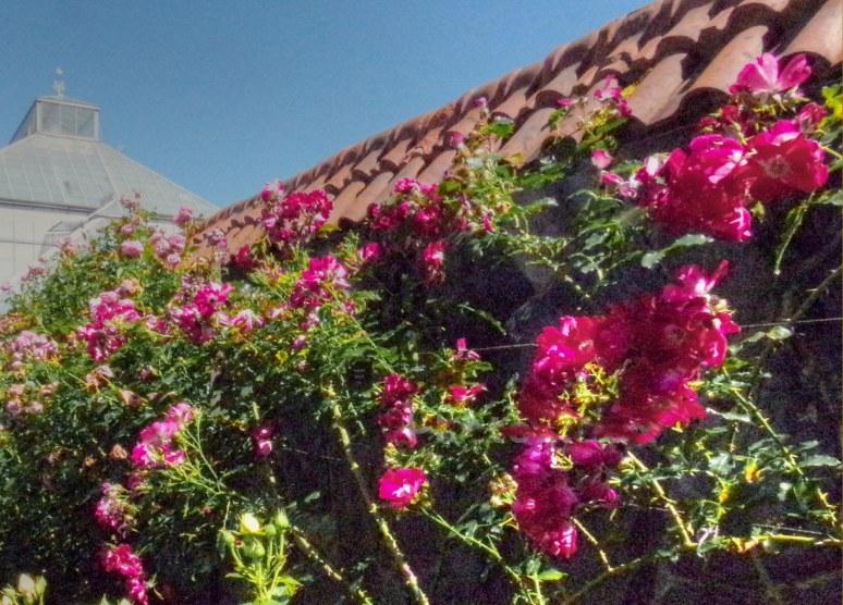 biltmore gardens red roses