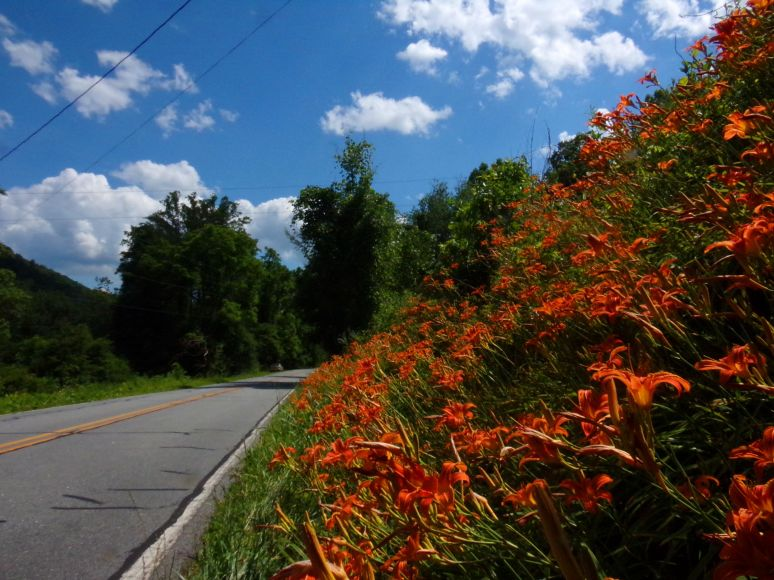 Tiger Lily Roadsides
