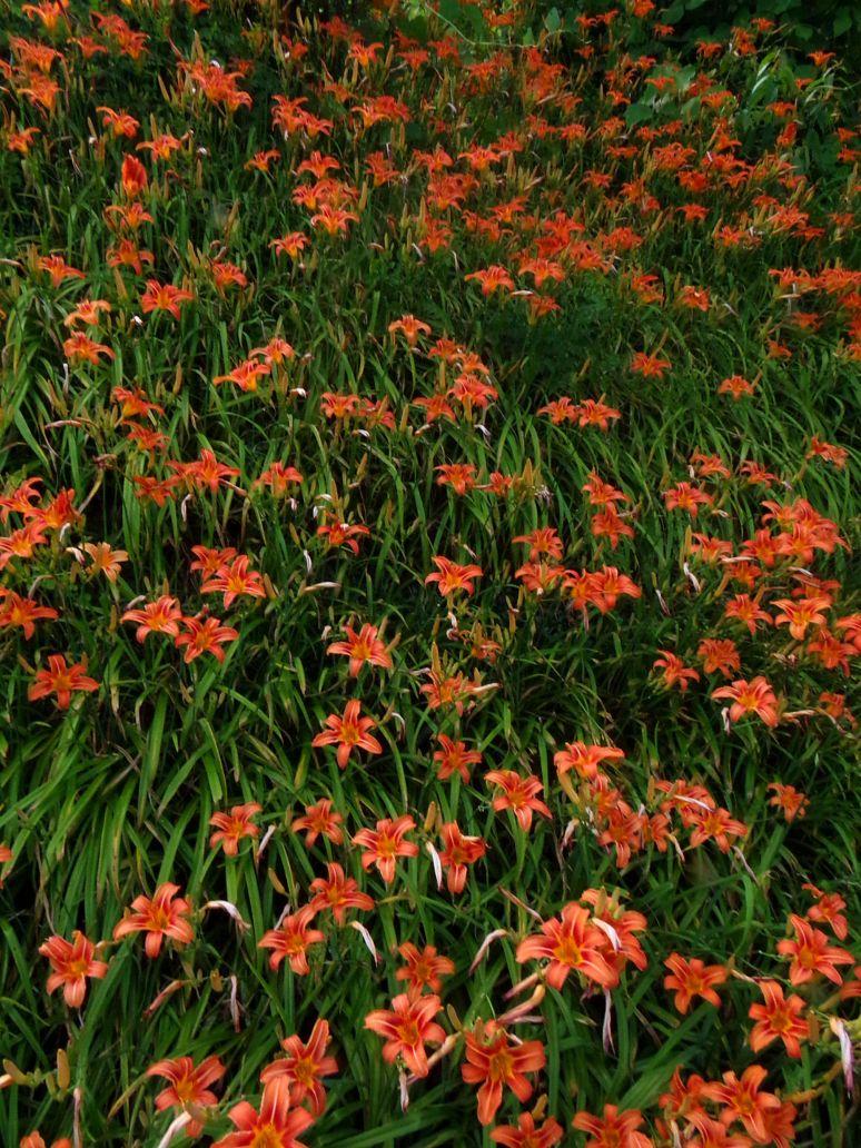 Tiger Lily Sea