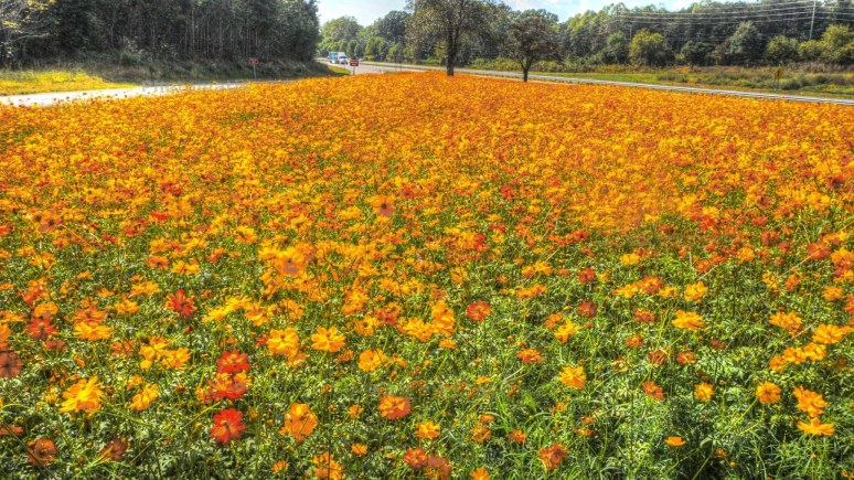 marigolds along interstate 40 in North Carolina