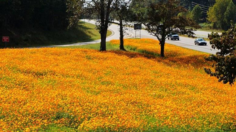 marigolds along interstate 40