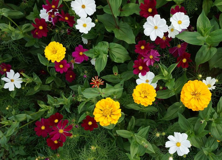 Flower bed annuals marigolds