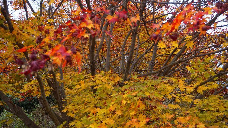 Elliot Mountain Maple color
