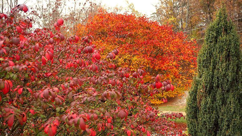 Elliot Mountain Burning Bush and Maple